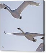 Swans Flying In Formation, Yukon Acrylic Print