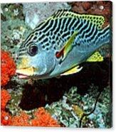 Sweetlips Fish Acrylic Print