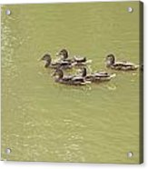 Swimming Ducks Acrylic Print by Corinne Elizabeth Cowherd