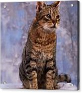 Tabby Cat Portrait Of A Cat Acrylic Print