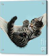 Tabby Kitten In Hammock Acrylic Print