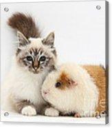 Tabby-point Birman Cat And Guinea Pig Acrylic Print