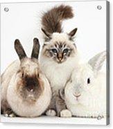 Tabby-point Birman Cat And Rabbits Acrylic Print