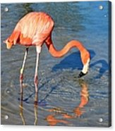 Taking A Drink Acrylic Print