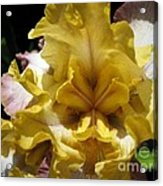 Tall Bearded Iris Named Butterfingers Acrylic Print