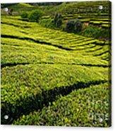 Tea Gardens Acrylic Print