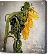 Textured Sunflower Acrylic Print by Bernard Jaubert