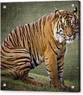 The Sumatran Tiger  Acrylic Print