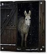 The White Mule Acrylic Print