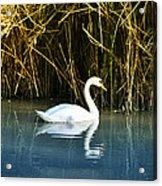 The White Swan Acrylic Print