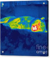 Thermogram Of A Tiger Acrylic Print