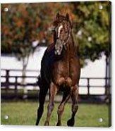 Thoroughbred Horse, Ireland Acrylic Print