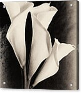 Three Calla Lilies Acrylic Print by Lisa  Spencer