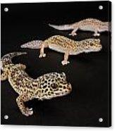 Three Female Leopard Geckos Eublepharis Acrylic Print