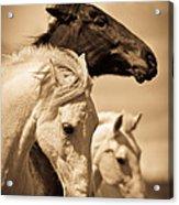 Three Horses Acrylic Print