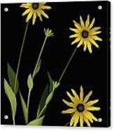 Three Yellow Flowers Acrylic Print