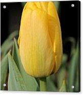 Tulip Named Big Smile Acrylic Print