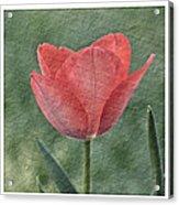 Tulip Trio Acrylic Print