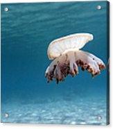 Upside Down Jellyfish In Caribbean Sea Acrylic Print