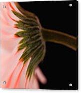 Usa, Utah, Lehi, Close-up Of Pink Daisy Acrylic Print