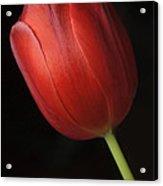 Valentine Tulip Acrylic Print