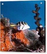 Valentini's Sharpnose Puffer Acrylic Print by Georgette Douwma