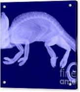 Veiled Chameleon X-ray Acrylic Print