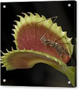 Venus Flytraps As They Consume Insects Acrylic Print