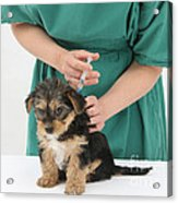Vet Giving Pup Its Primary Vaccination Acrylic Print