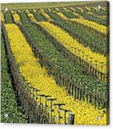 Vineyards In Californias Edna Valley Acrylic Print