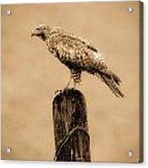 Vintage Hawk Acrylic Print