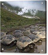 Volcan Alcedo Giant Tortoise Geochelone Acrylic Print