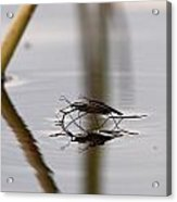 Water Skaters Acrylic Print