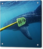 Whale Shark Being Tagged Acrylic Print