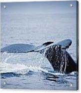 Whales Fluke Acrylic Print