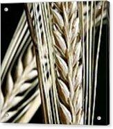 Wheat Ears (triticum Sp.) Acrylic Print