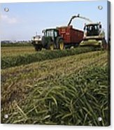 Wheat Harvest For Silage Acrylic Print