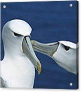 White-capped Albatross Thalassarche Acrylic Print