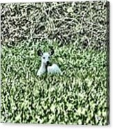 White Deer Acrylic Print