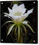 White Echinopsis Flower  Acrylic Print