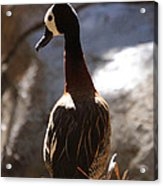 White Faced Whistling Duck Acrylic Print
