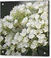 White Hydrangea Bloom Acrylic Print