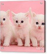 White Kittens Acrylic Print