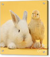 White Rabbit And Bantam Chick On Yellow Acrylic Print