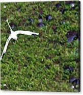White-tailed Tropicbird Acrylic Print