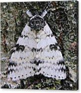 White Underwing Moth Acrylic Print
