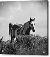 Wild Horse Acrylic Print