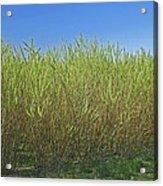 Willow Bioenergy Crop, Sweden Acrylic Print