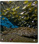 Wobbegong Shark And Cardinalfish, Byron Acrylic Print