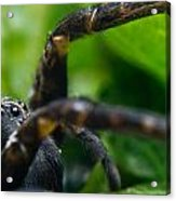Wolf Spider And Babies 2 Acrylic Print